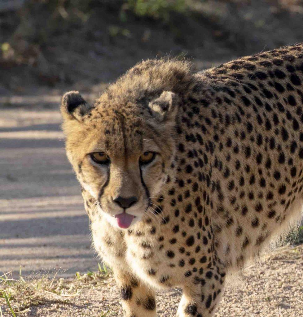 Cheetah_tongue
