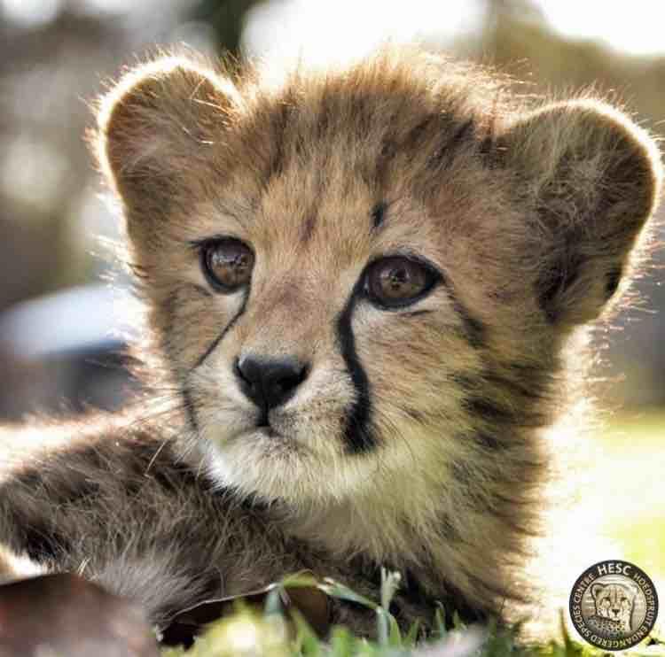 King_cheetah_cub_HESC