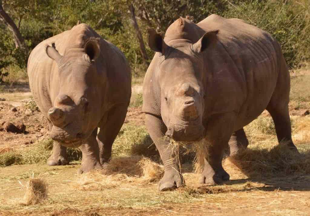 Lions_den_dingle_Dell_rhinos_HESC
