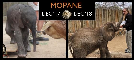 Mopane_Orphaned_elephant