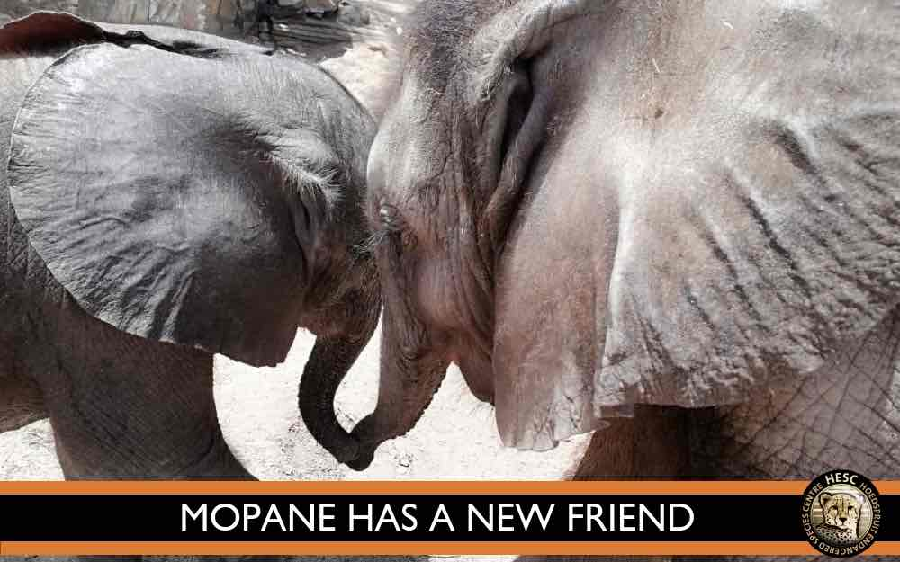 Mopane_orphaned_elephant_friends