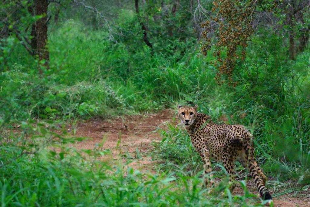Cheetah_lookingback
