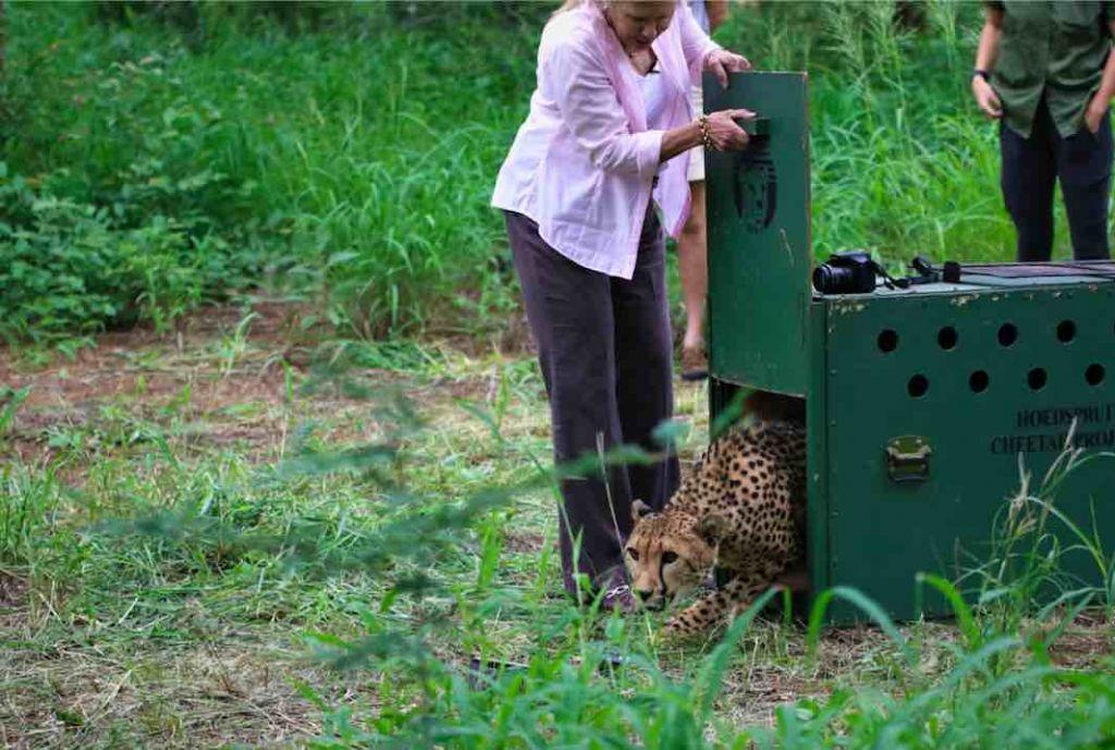 Cheetah_release_HESC_Pidwa