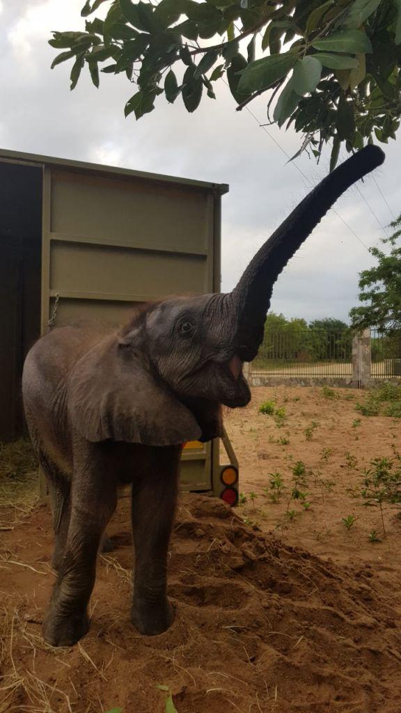 Mopane_orphaned_elephant_HESC