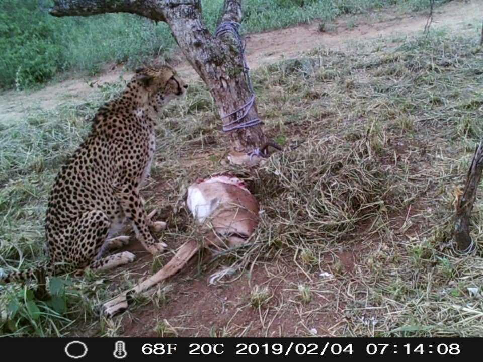 Tilla_cheetah_release_HESC_impala