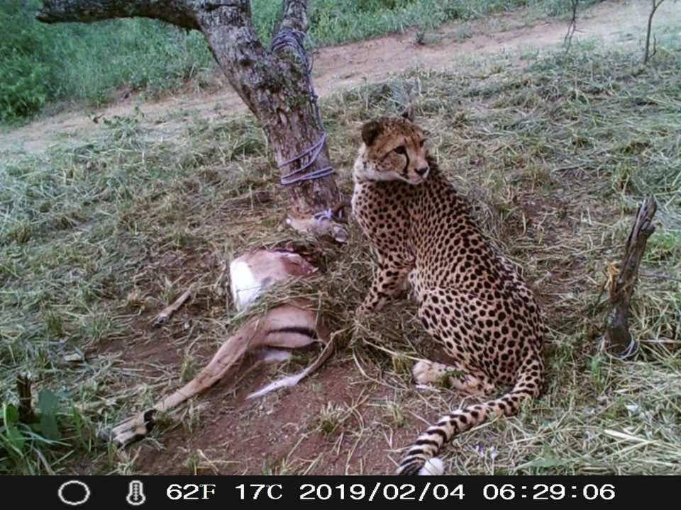 Tilla_Cheetah_released_HESC_IMpala
