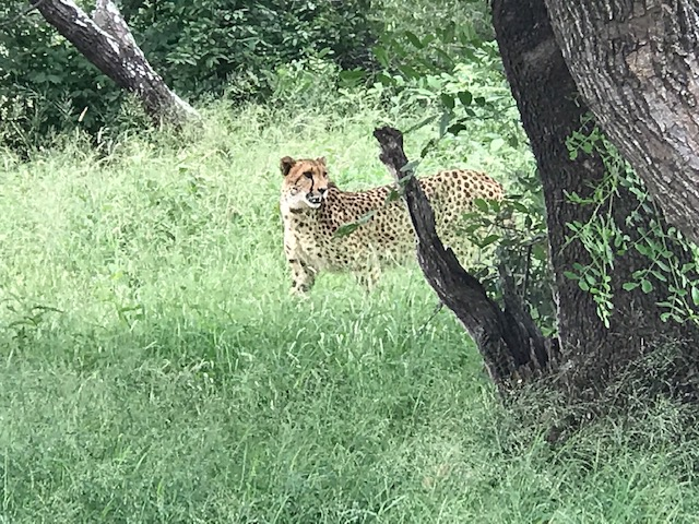 Cheetah_released_on_nature_ reserve_ HRH_Princess_Michael_of_Kent_witnessed