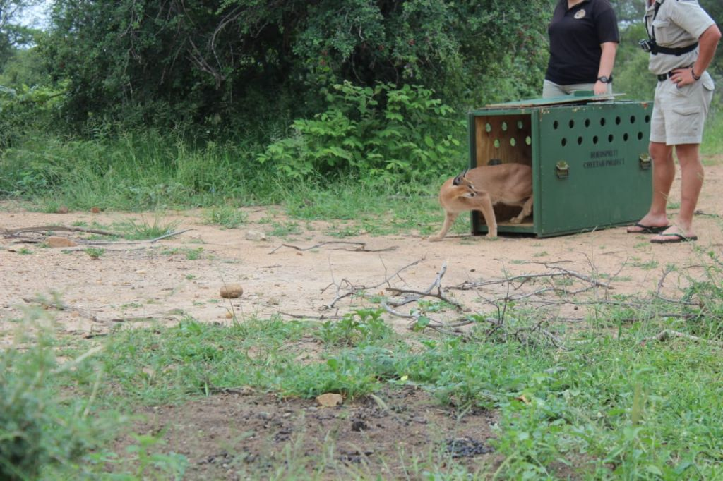 Caracal_Released_onto_Private_ Game_Reserve
