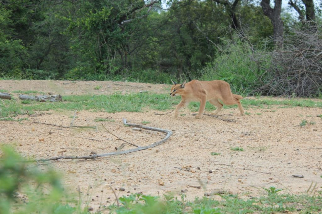Caracal_released_new_Home_on_Game_reserve
