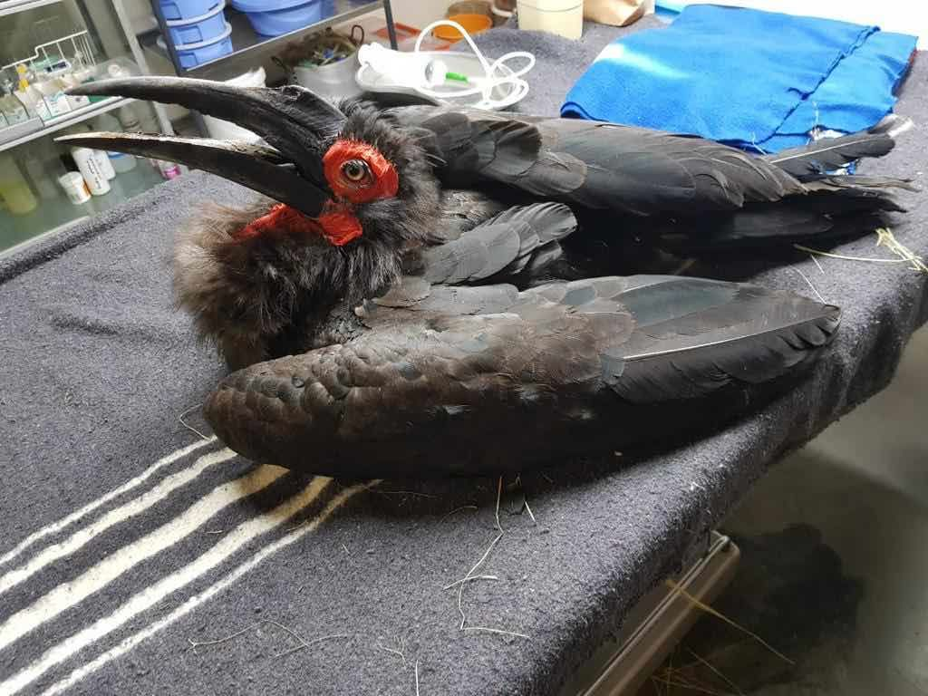 HESC REHABILITATES AND RELEASES A SOUTHERN GROUND HORNBILL