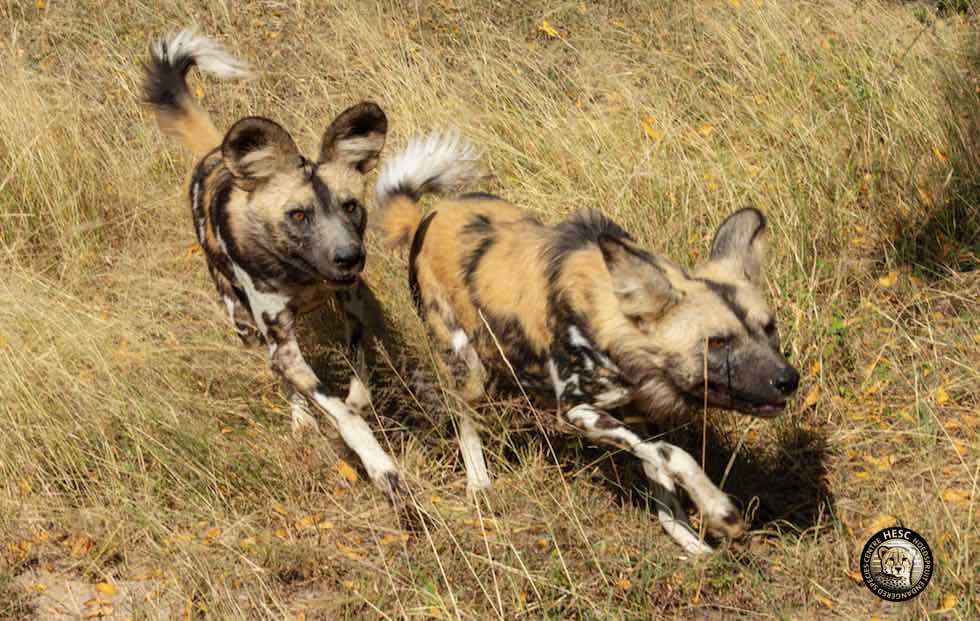 Two-wild-dogs-HESC-SOuth-Africa