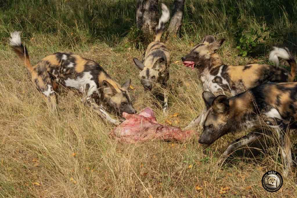 Wild-dogs-feeding_HESC