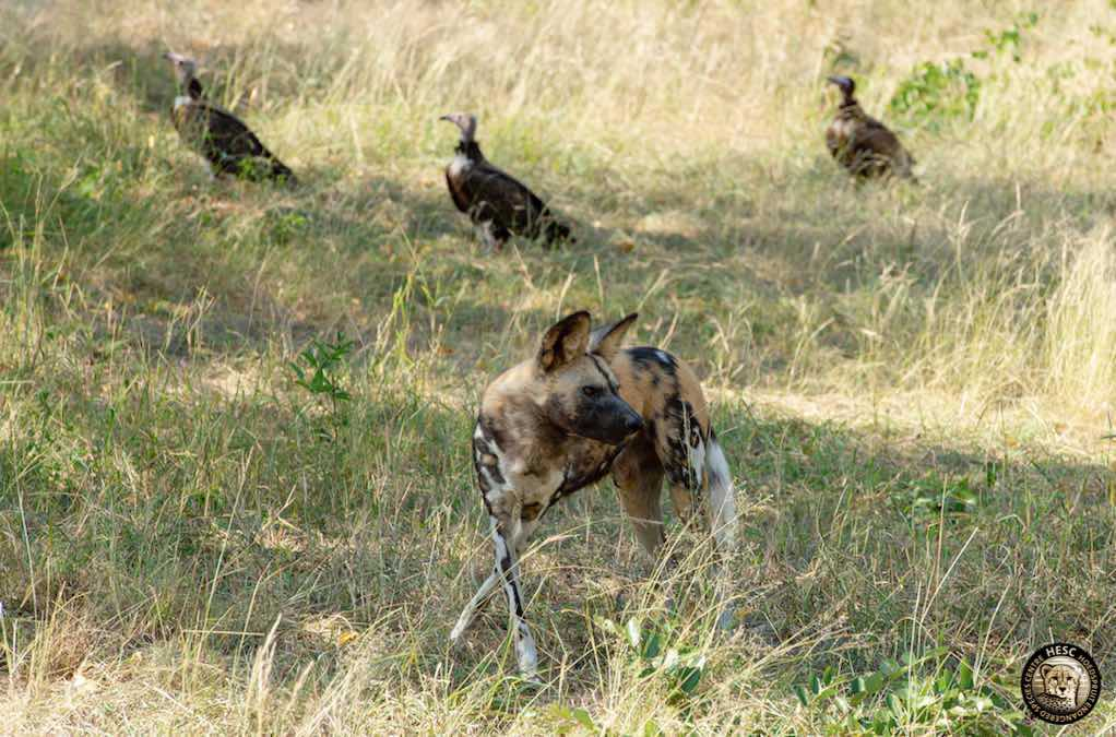 Wild-dogs-vultures