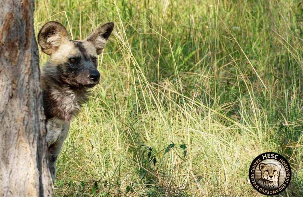 wild-dog-curious-hesc