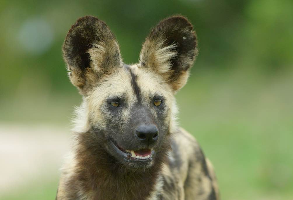 AFRICAN WILD DOGS – HOW MUCH DO YOU KNOW ABOUT THEM?